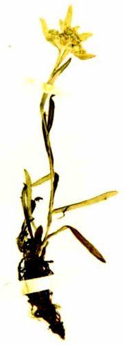floare de colţ; Leontopodium alpinum (Cass, 1821) - Muzeul Vrancei - FOCŞANI (Patrimoniul Cultural National Mobil din Romania. Ordin de clasare: 2048/26.01.2007 - Tezaur)