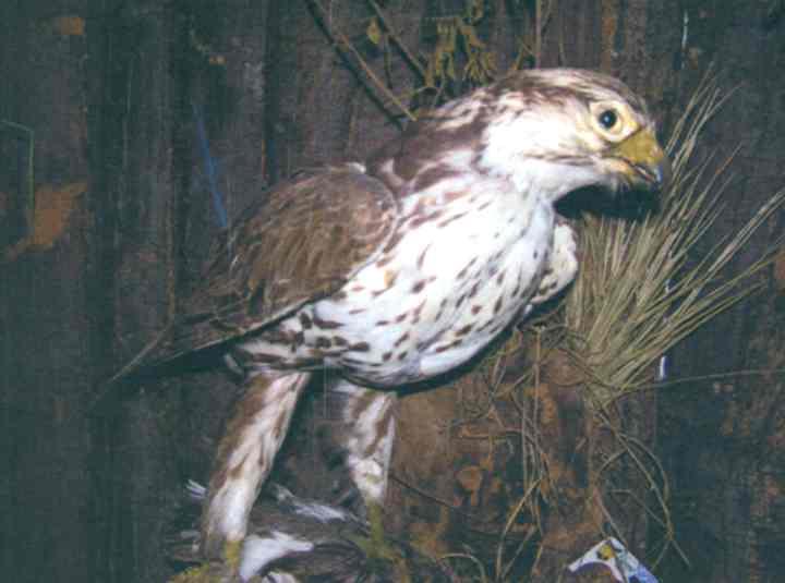 """Şoim dunărean; Falco cherrug (Gray, 1834) - Muzeul """"Vasile Pârvan"""" - BÂRLAD (Patrimoniul Cultural National Mobil din Romania. Ordin de clasare: 2559/12.09.2008 - Tezaur)"""