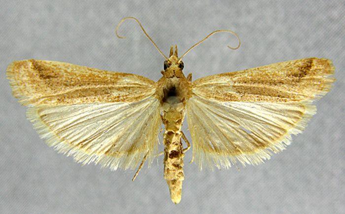 Ancylosis bartelella (Caradja, 1910)