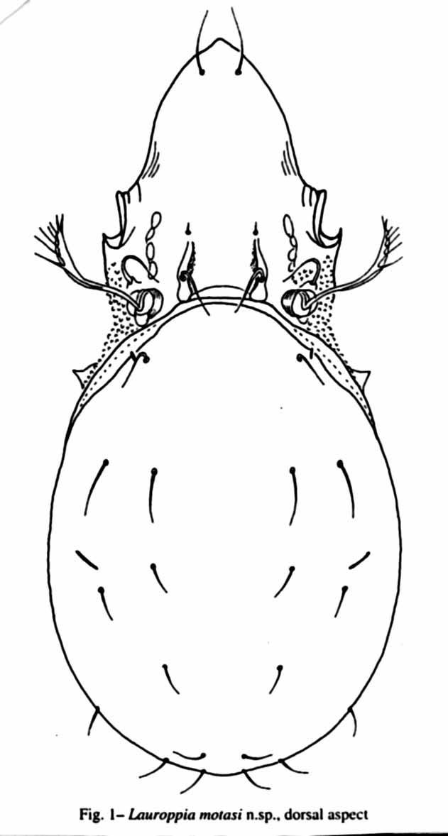"""Lauroppia motasi, ord. Acari, fam. Oppiidae - Muzeul Naţional de Istorie Naturală """"Grigore Antipa"""" - BUCUREŞTI (Patrimoniul Cultural National Mobil din Romania. Ordin de clasare: 2843/10.11.2003 - Tezaur)"""